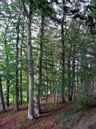 Buk lesní v Krušných Horách