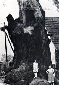 Tisíciletý dub. cca 30.léta 20.století