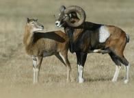 Párek zamilovaných muflonů