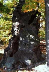Torzo památného dubu
