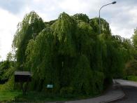 Buk lesní, k. území Osek, areál LS LČR Osek. Obvod: 290 cm,výška: 14 m, stáří: 150 let