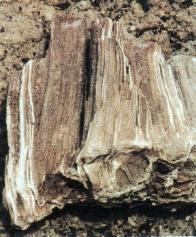 Zkameněliny třetihorní vegetace