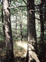 Na úpatí Krušných hor se v pásmu původních dubo-habrových hájů můžete setkat i s vitálními dubovými porosty