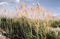Typickým představitelem výsypkové flóry Mostecka, je odolná třtina vrchovištní