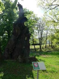 Torzo památného dubu v Oseku